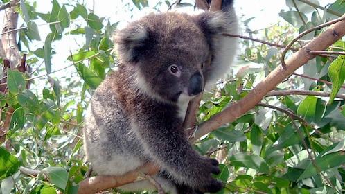 Koala bear in a tree in Melbourne