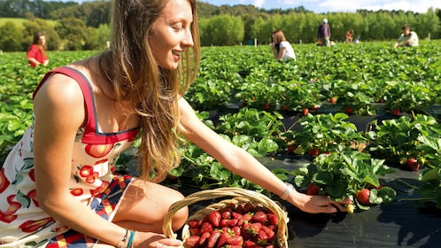 Woman picking strawberries in Mornington