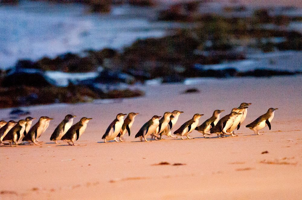 Phillip island Penguins.jpg