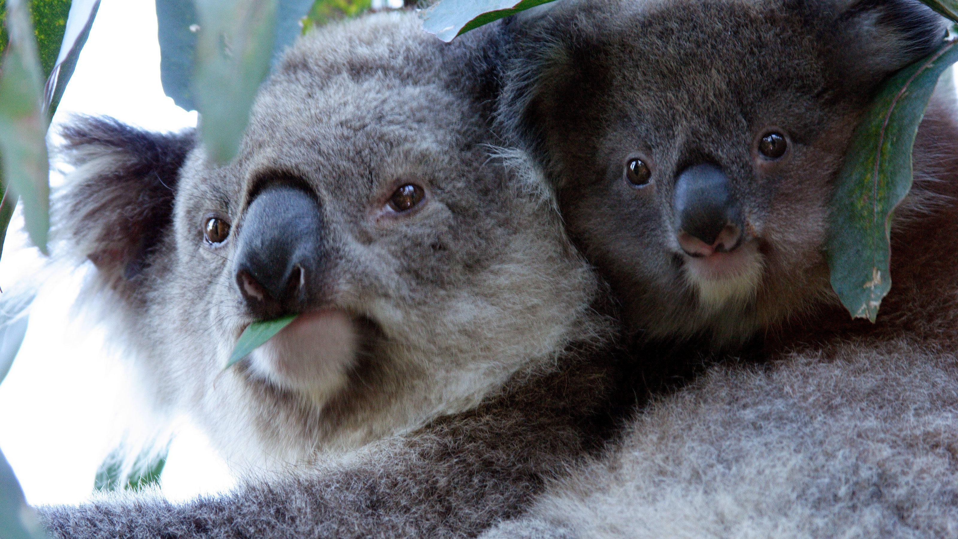 Pair of koalas perched in a tree on Phillip Island in Australia