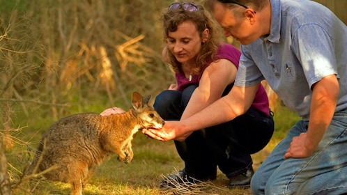 Couple feeding and petting a wallaby on Phillip Island