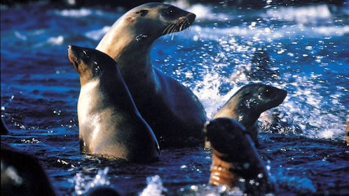 Sea lions splashing in the water off the coast of Phillip Island
