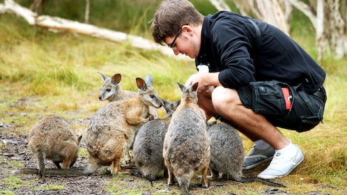 Man interacting with a group of wallabies on Phillip Island
