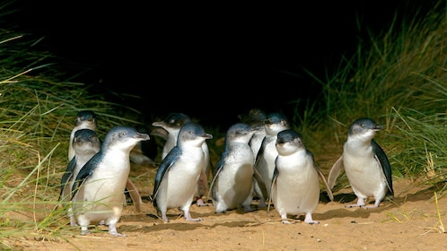 Group of penguins walking on the sand dunes of Phillip Island