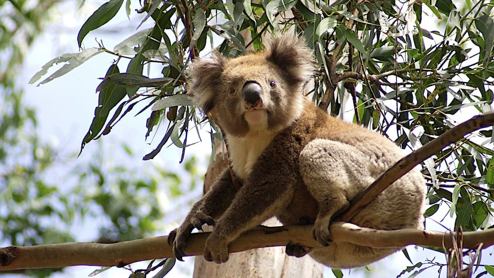 Show item 3 of 10. Koala bear perched in a tree at Great Otway National Park in Melbourne