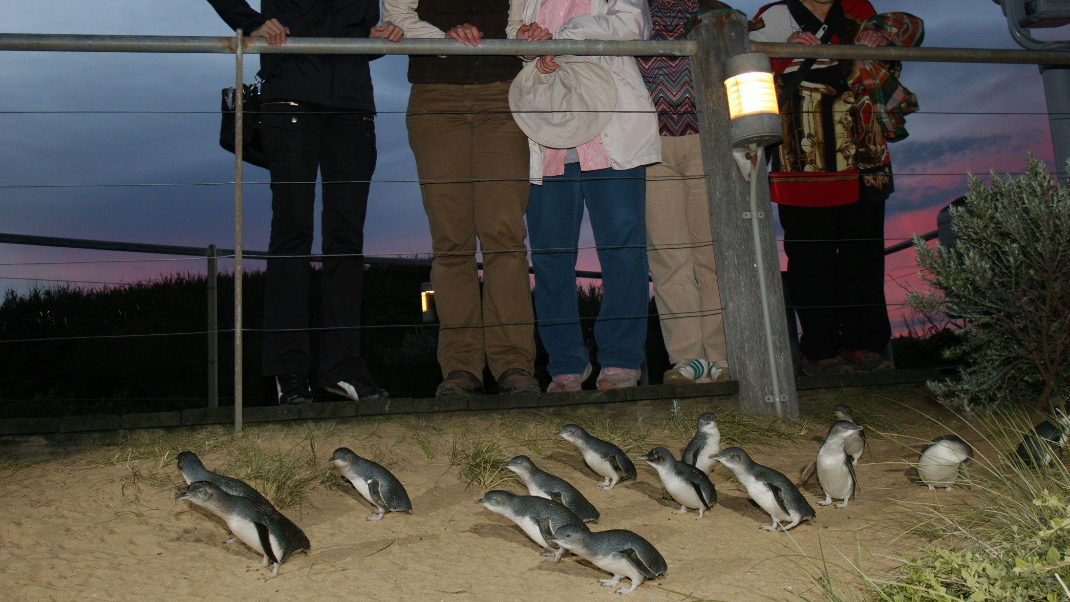 Phillip Island & Penguin Parade Premium Viewing Tour