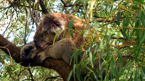 Sleeping koala bear in a tree on Phillip Island