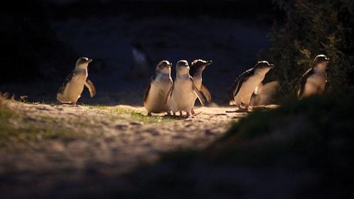 Penguins walking on Phillip Island