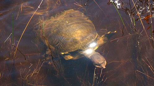 Turtle swims in the Everglades