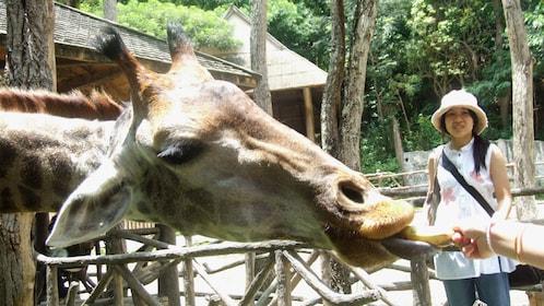 Feeding a giraffe in Chiang Mai