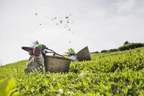 VISIT ACTIVE VOLCANO & TEA PLANTATION (Start from Jakarta)