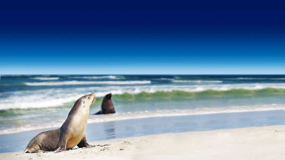 Seals lounging in the surf on Kangaroo Island