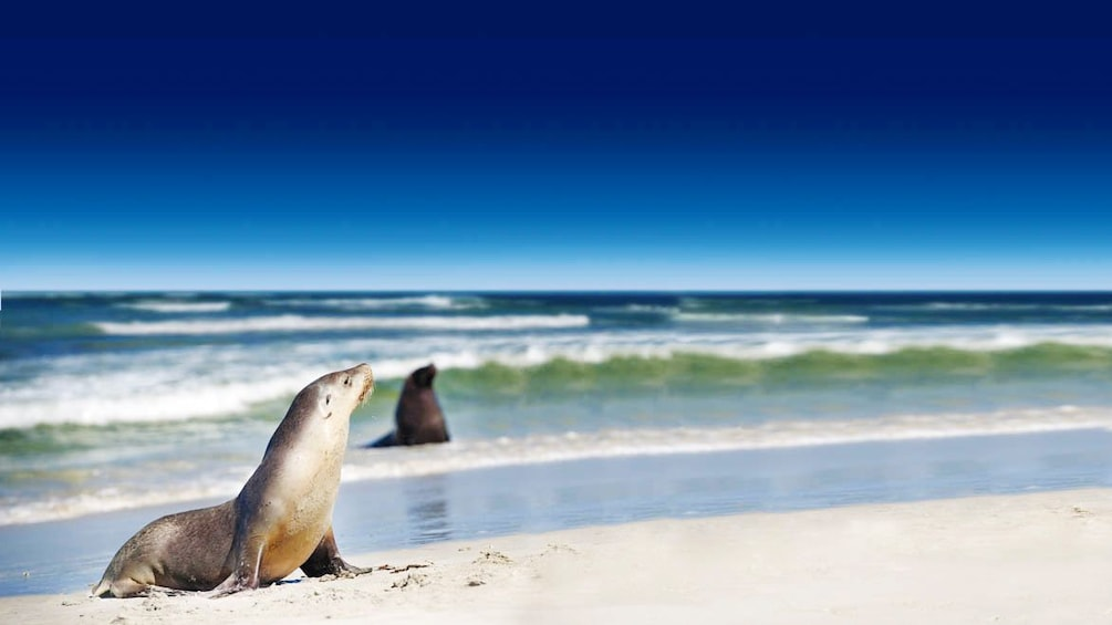 Show item 1 of 5. Seals lounging in the surf on Kangaroo Island