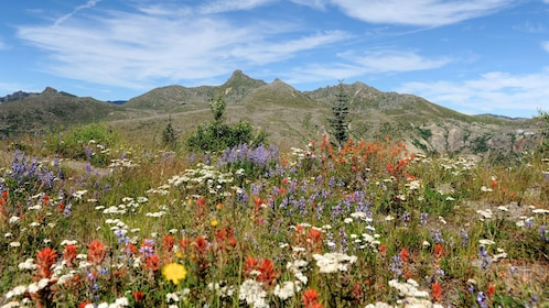 wild flowers at Mount saint helens national volcanic monument in Washington