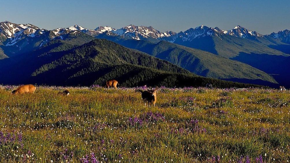 Deers in meadow in Olympic National Park in Washington