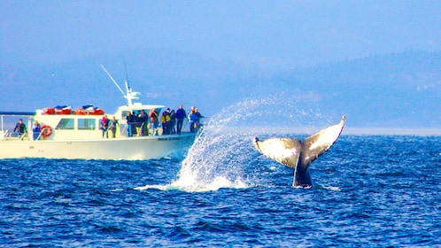 Whale tail next to a Whale watching boat in the San Juan Islands