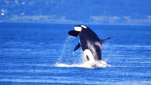 Orca jumps out of the water