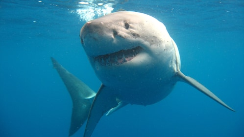 Close-up of great white shark swimming in waters off Port Lincoln Australia