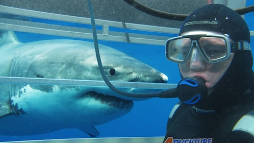 Diver in shark cage with great white shark looming just outside cage