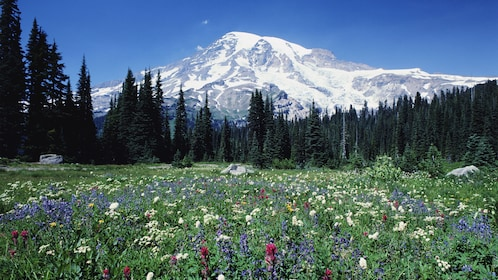 Wild flowers with Mount Rainier in Washington