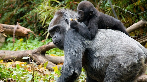 Baby gorilla on mothers back at the Woodland Park Zoo in Seattle