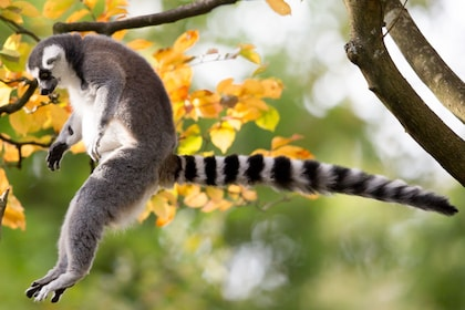 Ring-tailed lemur at the Woodland Park Zoo