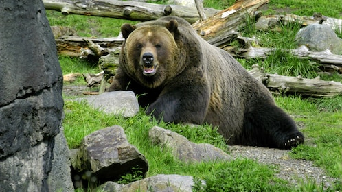Grizzly bear at the Woodland Park Zoo in Seattle