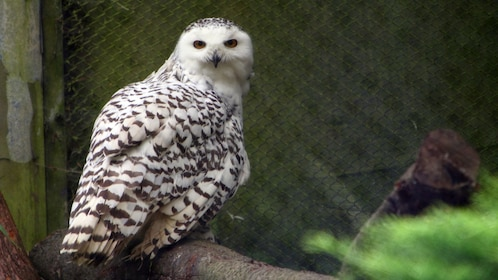Spotted owl at the Woodland Park Zoo in Seattle