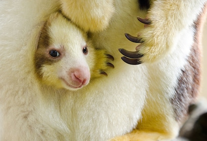 Tree kangaroo at the Woodland Park Zoo in Seattle