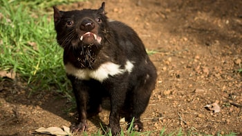 Tasmanian Devils and Richmond by Gray Line