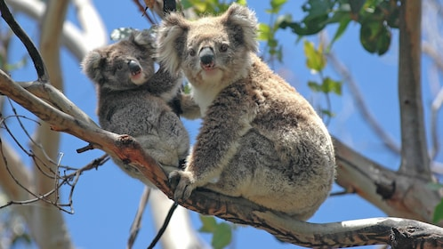 Koalas on a tree branch at the Bonorong Wildlife Sanctuary in Hobart