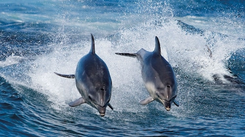 Two dolphins jumping out from the waters on Bruny Island
