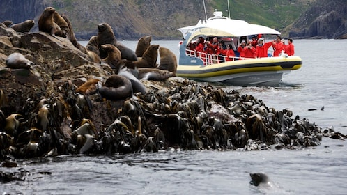View of fur seals on the rocks as the cruise boat of Bruny Island passes by on the water