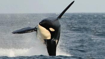 Safari para observar ballenas en Vancouver
