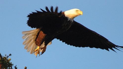 Bald eagle flying over Victoria