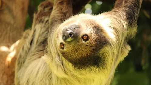A hanging sloth at the Vancouver Aquarium in Canada