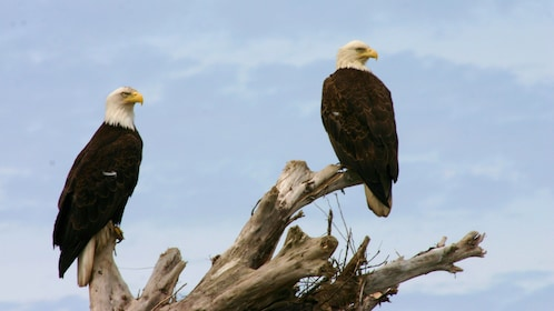 Perched bald eagles in Vancouver