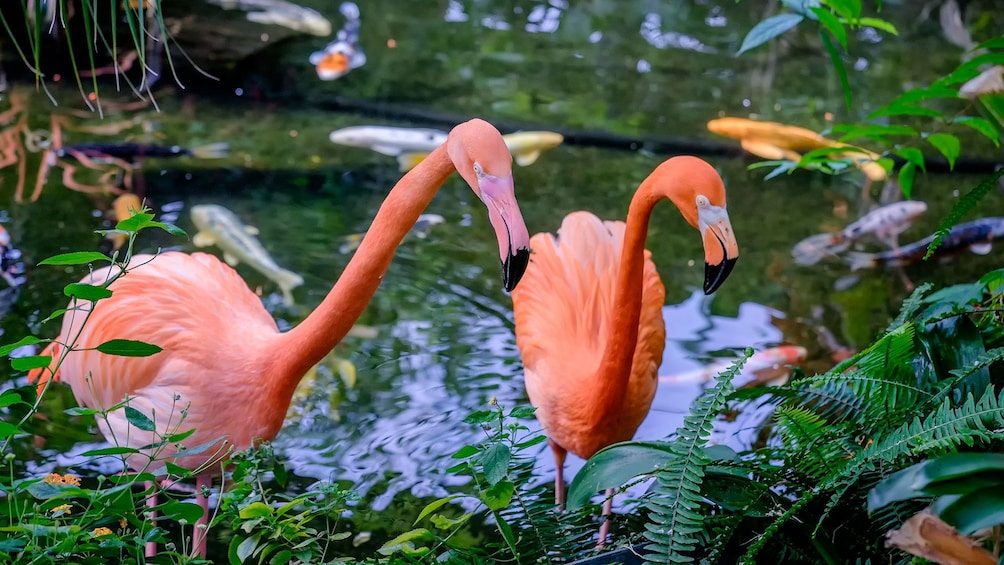 Show item 5 of 8. Pair of pink flamingos at Victoria Butterfly Gardens in Victoria