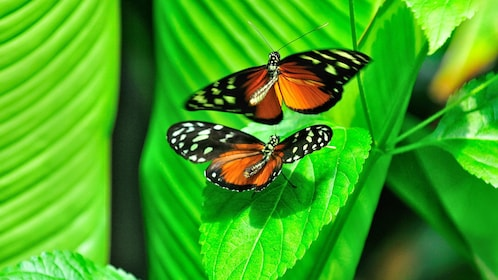 Bright orange, black and white Butterfly at the Victoria Butterfly Gardens on Vancouver Island, BC, Canada.