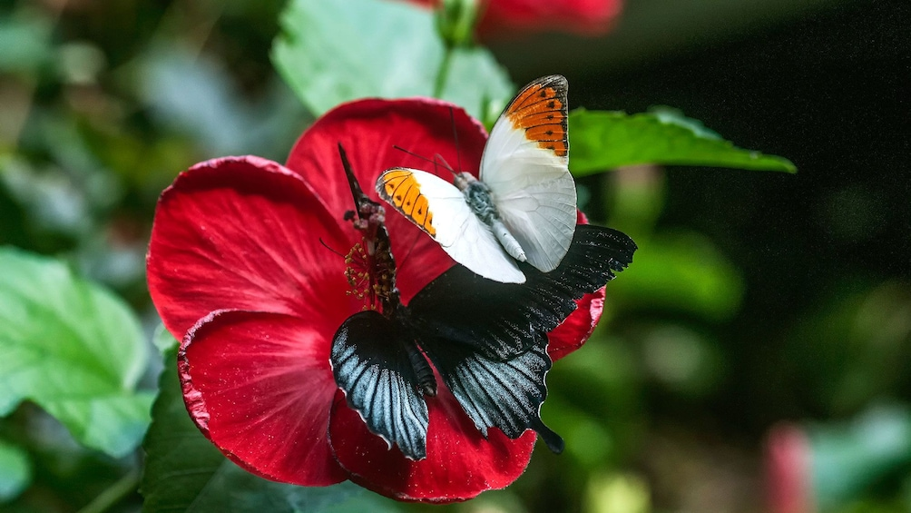 Show item 2 of 8. Pair of butterflies on a red flower at Victoria Butterfly Gardens in Victoria