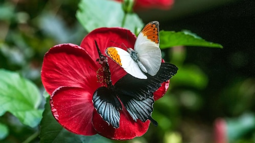 Pair of butterflies on a red flower at Victoria Butterfly Gardens in Victoria