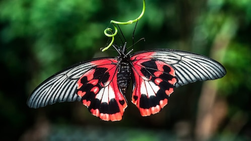 Red and black butterfly at Victoria Butterfly Gardens in Victoria