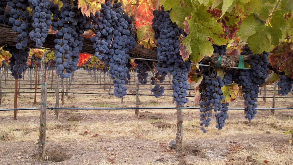 Grapes from a vineyard in Saint Emilion