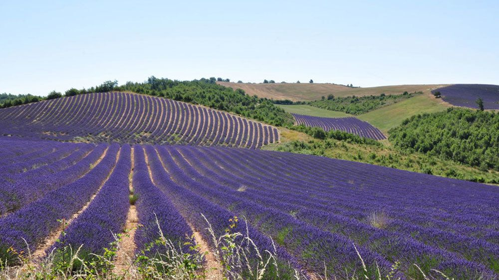 Rolling fields of lavender in Provence
