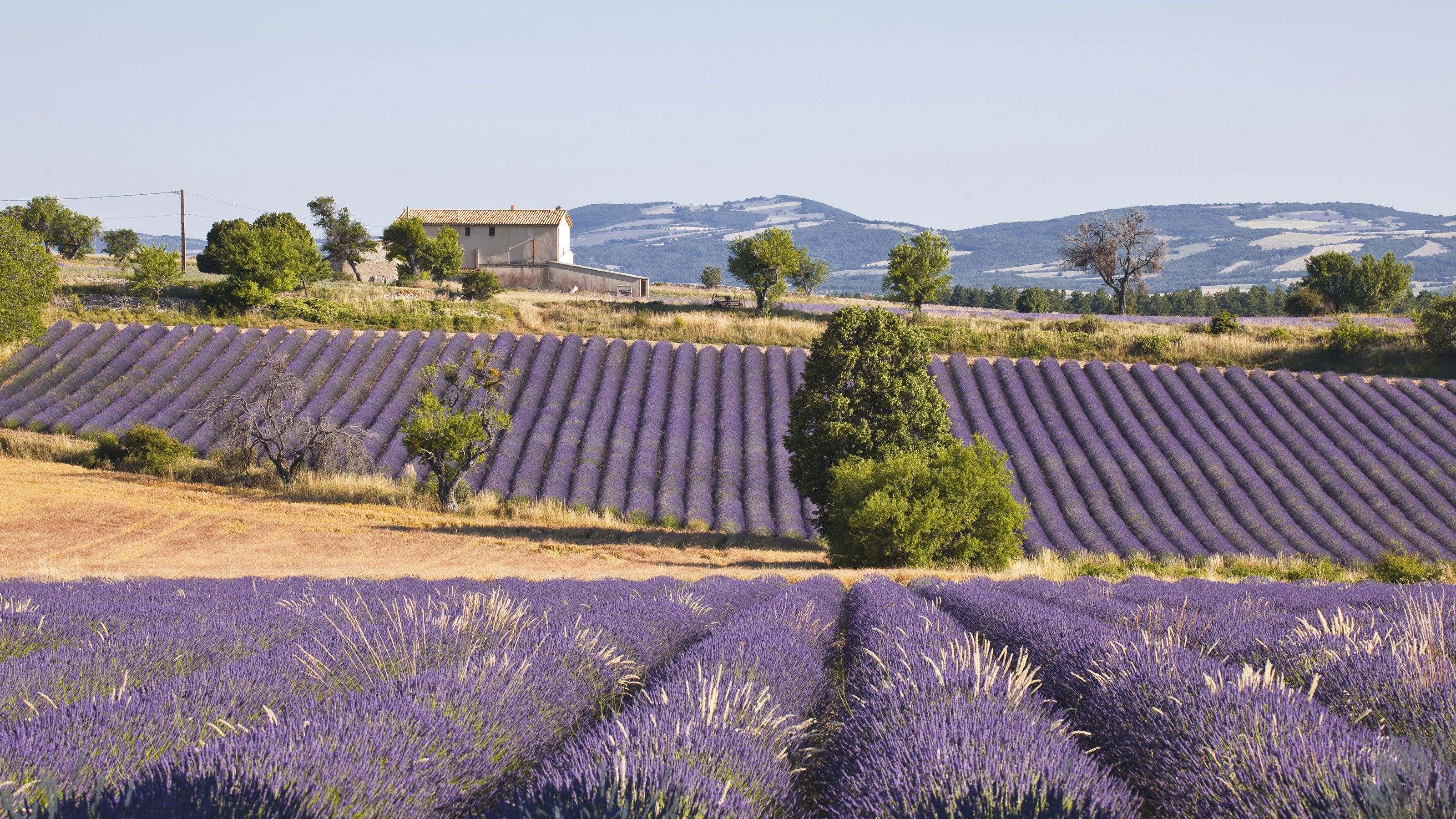 Fields of lavender in Provence