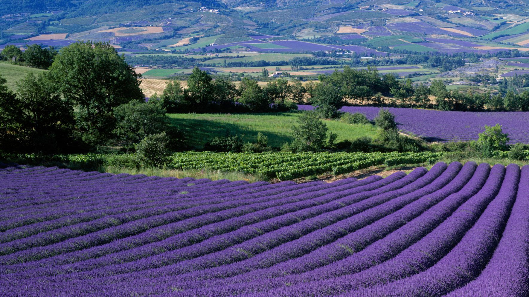 Rolling hills of lavender fields in Provence
