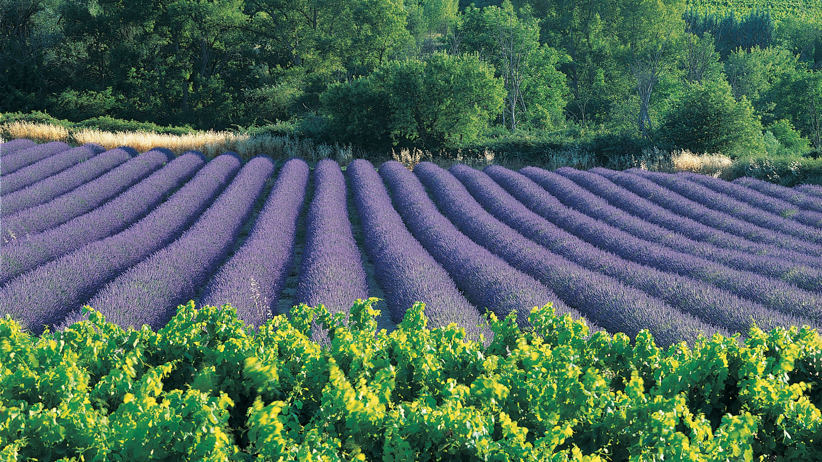 Rows of blooming lavender in a field in Provence