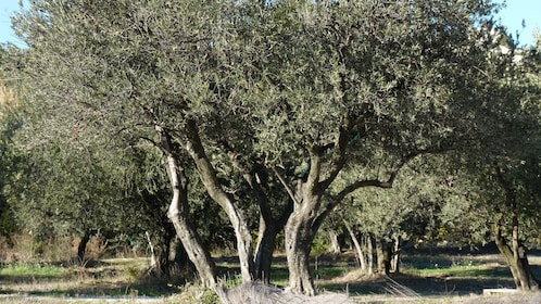 Stunning trees in Marseille