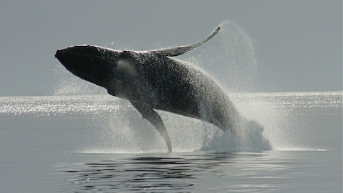 Breaching humpback whale off the coast of Victoria