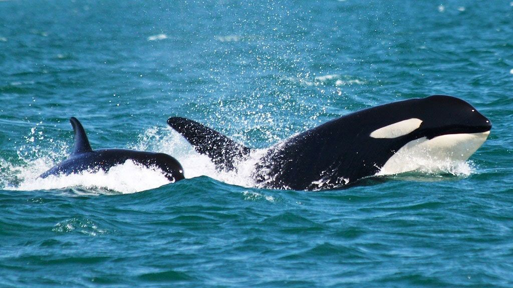 Orca whales along the surface in Victoria